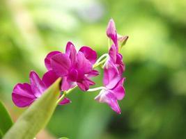 closeup de orquídea vermelha dendrobium ao ar livre. foto