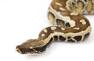 python de sangue foto