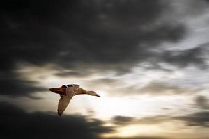 migração de pato foto