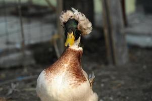 pato com crista