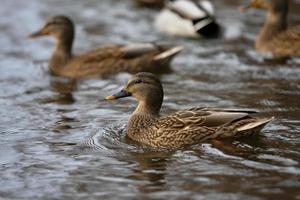 aves aquáticas. foto