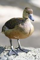 pato-assobiador menor