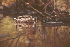 pato selvagem nadando na lagoa foto