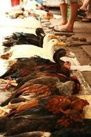 frango e patos sendo exibidos para venda no Vietnã foto