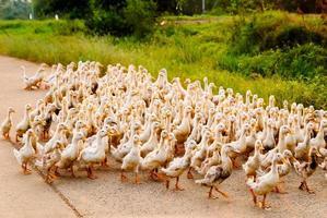 família de patos andando em linha reta foto
