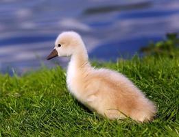 cisne branco cisne foto