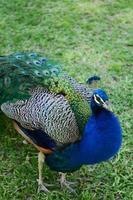 pavão na grama