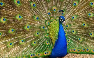 exibição de pavão foto