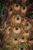 penas de pavão foto