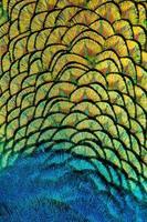 esplendor do pavão