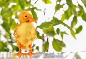 patinho recém-nascido pequeno molhado foto