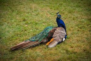 grande pavão multicolorido no gramado foto
