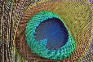 detalhe de penas de pavão foto