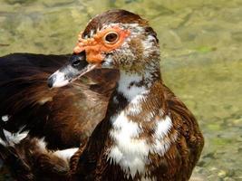 pato-almiscarado (cairina moschata) foto