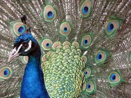 penas de cauda de pavão foto