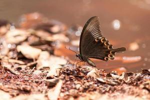 lado da borboleta de pavão de paris