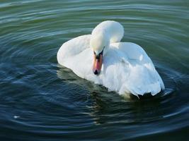 cisne muda (cygnus olor) foto