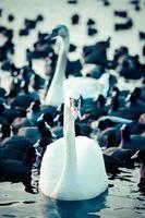 cisne flutuando na água no inverno.