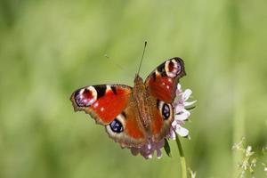 borboleta pavão foto
