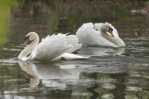 dois cisnes brancos foto