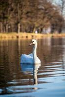 cisne nadando no lago ao pôr do sol