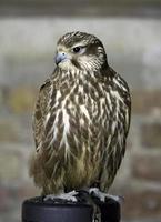 Merlin - ave de rapina (fêmea) foto