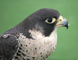 retrato de falcão peregrino foto