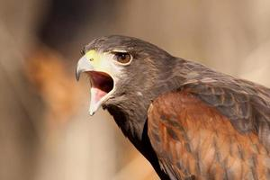 falcão zangado foto
