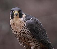 olhar de falcão peregrino foto