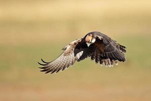 aterragem do falcão de lanner foto