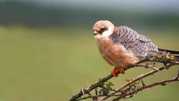 falcão de patas vermelhas falco vespertinus foto