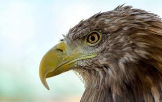 cabeça de uma águia foto