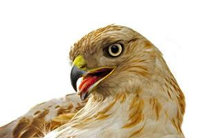 as características da cabeça de águia em um fundo branco foto