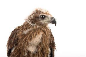 jovem papagaio brahminy, águia do mar de dorso vermelho foto
