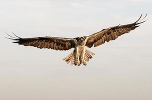 águia-pescadora em voo - pandion haliaetus foto
