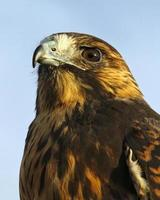 vista lateral do falcão foto