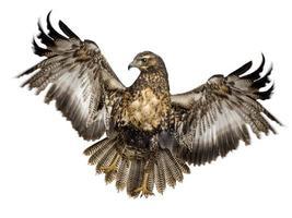 jovem águia-de-peito-preto - geranoaetus melanoleucus foto