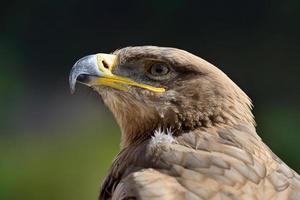 retrato de uma águia dourada foto