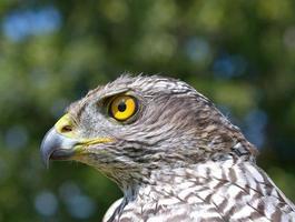 açor-do-norte (accipiter gentilis) foto