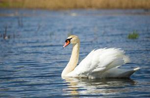 cisne, cygnus, único pássaro na água foto