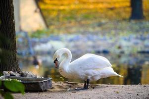 belos jovens cisnes no lago foto
