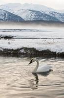 cisnes de tundra (cygnus columbianus) descansam no rio coberto de gelo