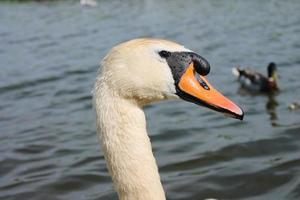 close-up de cisne muda foto