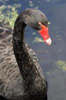 cisne negro foto
