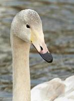 cisne jovem foto