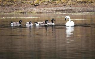 cisne branco selvagem e 4 gansos do Canadá