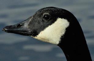 retrato de ganso do canadá