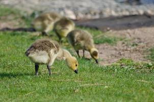 adorável pequeno ganso à procura de comida na grama verde foto