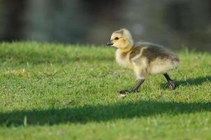 adorável pequeno ganso à procura de comida na grama foto