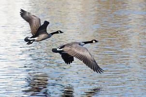 gansos do Canadá levando para o vôo da água foto